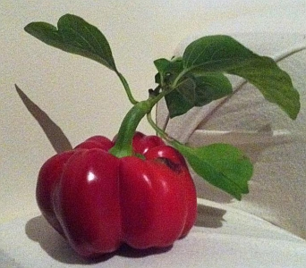a picture of a capsicum, unappreciated at the australian poetry slam victorian state final