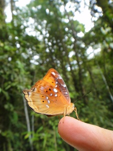 an orange butterfly on the tip of an outstretched finger, with papua new guinea's jungle in the background