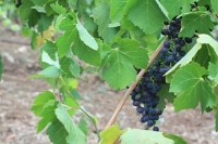 a picture of a grape growing on the vine, like a love, one that will hopefully last!